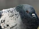 Il poster del piccione che dorme a Venezia